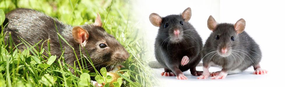 Rats Live