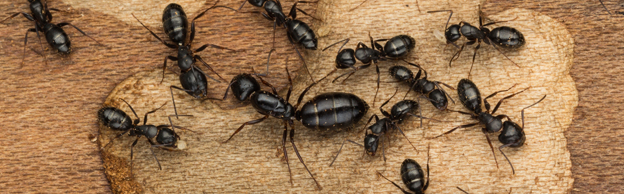 Call Professional Help For Getting Rid Of Carpenter Ants Advance Pest Control