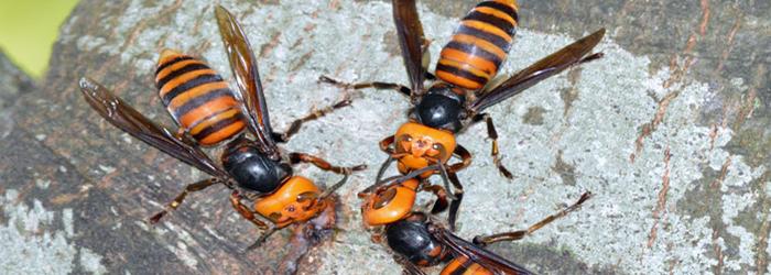 asian Videos hornet about