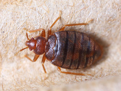 bed_bugs_control_Surrey