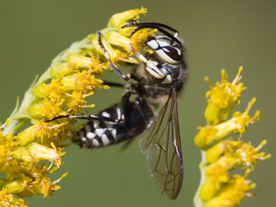 hornets_pest_control_Langley