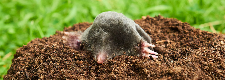 Best Mole Remover in Town
